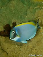 0516-1001  Powder Blue Surgeon Fish (Powder Blue Tang), Acanthurus leucosternon  © David Kuhn/Dwight Kuhn Photography