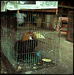 August 2000. Jakarta, Indonesia. Birding is a way of life to the Indonesians. The Hornbill  bird sits on the ground in Pramuka, Indonesia's largest bird market. The endangered bird will most likely die from captivity. Since Suharto's resignation the endangered animal trade has flourished because of corruption.