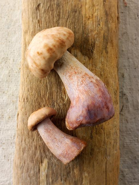 Fresh picked wiild organic Pied Bleu Mushrooms (Clitocybe nuda), blewitt or Blue Foot mushrooms