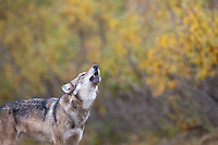 Gray wolf howls in Denali National park, interior, Alaska.