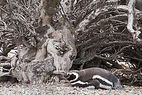 Magelhaen Pinguin (Spheniscus magellanicus), kolonie te Punta Tombo, Argentina