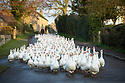 20/11/19<br /> <br /> A flock of 500 free range geese take one of their final morning walks from their barn through the village of Croxton Kerrial.<br /> <br /> The geese, who have loved the recent rain and mud spend their day grazing in a field over-looked by the village church in Lincolnshire, before waddling back to their warm barn at Botterill & Sons Freerange Birds at dusk.<br /> <br /> You'll need to be quick if you want to have a gander at these feathery commuters, as the six-month-old birds will all take their last stroll through the village next week as demand for goose on the Christmas dinner table continues to rise year-on-year.<br /> <br /> The farm has a total of 1500 geese and also supplies turkeys, duck and chicken for Christmas.<br /> <br /> The geese have walked through the village for 30 years.<br /> <br /> <br /> All Rights Reserved: F Stop Press Ltd.  <br /> +44 (0)7765 242650 www.fstoppress.com