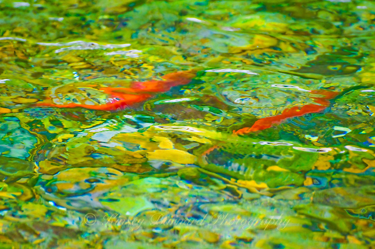 """""""THE LAST ACT""""<br /> <br /> Salmon swimming up the Tobacco River to spawn. The rippling water creates a colorful  abstract work of art. Laying their eggs will be the last thing these salmon ever do. ORIGINAL 24 X 36 GALLERY WRAPPED CANVAS SIGNED BY THE ARTIST $2,500. CONTACT FOR AVAILABILITY."""