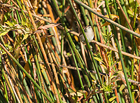 Marsh Wren, Cistothorus palustris, perches on marsh plants in Sacramento National Wildlife Refuge, California