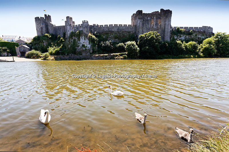 """Pictured: The killer swan, named by locals """"Mr Nasty"""" (C) with his family in the pond by Pembroke Castle, west Wales, UK. Sunday 08 July 2018<br /> Re: A vicious killer swan is prowling around Pembroke, determined to see off any threat to his territory by ruthlessly drowning his victims.<br /> So far, he has killed 10 other swans, though many more have been saved from his attacks.<br /> Dubbed by locals """"Mr Nasty""""  lives on the Castle Pond by Pembroke Castle. <br /> Bird sanctuary worker Maria Evans says she has watched him at work, drowning other swans, breaking their feet or pushing them over a sluice.<br /> In 2010, another killer swan dubbed """"Hannibal"""" had his wings clipped after attacking other swans in the same pond."""