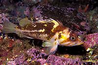 Copper rockfish, Sebastes caurinus, California, USA, East Pacific Ocean
