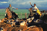 Paniolos (Hawaiian cowboys) on horseback, herding cattle at Parker Ranch, Waimea (Kamuela)