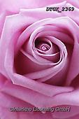 Gisela, FLOWERS, BLUMEN, FLORES, photos+++++,DTGK2369,#f#, EVERYDAY ,portrait ,roses
