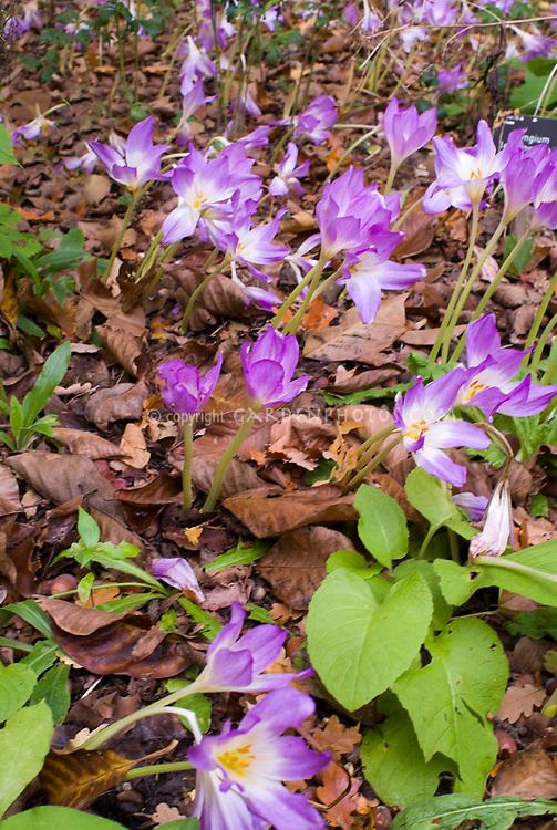 Colchicum 'Disraeli' in autumn fall flowers bulb bloom