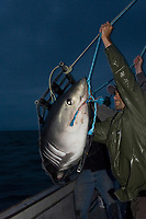 researchers lower a porbeagle shark, Lamna nasus, back into the water after tagging and measuring, New Brunswick, Canada (Bay of Fundy); Joey Pratt of Canadian Shark Conservation Society, foreground