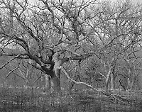 """""""Oak Trees"""" <br /> Konza Prairie Biological Station, Kansas<br /> <br /> The 8,600 acre Konza Prairie Biological Station was established as a field station for ecological research in the tallgrass prairie region of the Flint Hills in northeastern Kansas. The Konza prairie serves as a prairie preserve and outdoor laboratory for scientific research. This photograph shows a stand of oak trees that are present on the prairie preserve."""