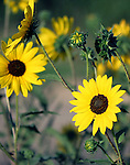 Wild sunflowers on the eastern plains of Colorado.