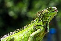 Beautiful, green American iguana portrait, with blurred tree background, on Watson Island, near Miami Beach, Florida USA