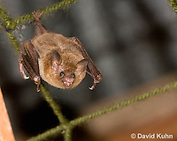 0715-1115  Seba's Short-tailed Bat, Roosting in Building in Belize, Carollia perspicillata  © David Kuhn/Dwight Kuhn Photography