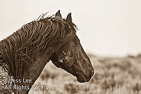 ,fighting MustangsMcCullough Peaks Mustangs Wild Horse Photography by western photographer Jess Lee. Pictures of mustangs in the West. Fine art images,Prints,photos Wild horse photo,wildhorses in the american west,