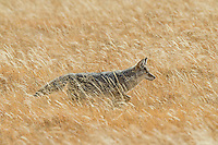 Wild Coyote (Canis latrans) walking through golden grass in late October.  Western U.S., Fall.