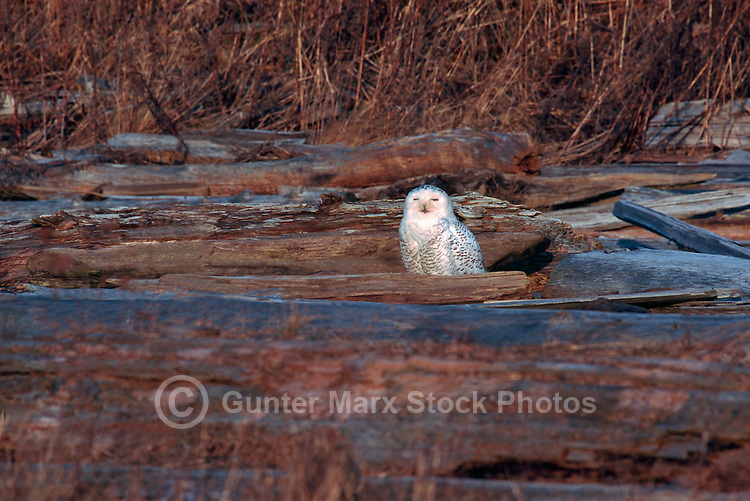 Snowy Owl (Bubo scandiacus) Female or Juvenile, sitting on Frost Covered Log at Boundary Bay Regional Park, Delta, BC, British Columbia, Canada - aka Arctic Owl, Great White Owl or Harfang.