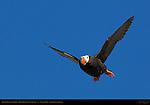 Tufted Puffin in Flight, Duck Island, Puffin Island, Tuxedni Bay, Cook Inlet, Alaska