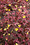 OXALIS 'PLUM CRAZY YELLOW', WOOD SORREL
