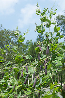 Heirloom variety of peas with purple pods on climbing vine plants, tied up, against blue sky