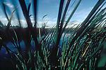 Skagit River Estuary, Cattails, Typha latifolia, spring growth, Puget Sound, Skagit County, Washington State, Washington State Fish Wildlife, Washington Wildlife and Recreation Program, Critical Habitat, .