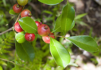 Strawberry guava (psidium cattleianum) are delicious and grow wild in Hawaii's forrests