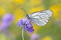 Black Veined White butterfly (Aporia crataegi) Nordtirol, Austrian Alps, Austria, July.