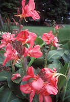 Canna x generalis 'Tropical Rose' dwarf short growing pink flowered summer bulb with green foliage leaves, bold plant, lawn grass, trees, in backyard garden, 3-4 feet high