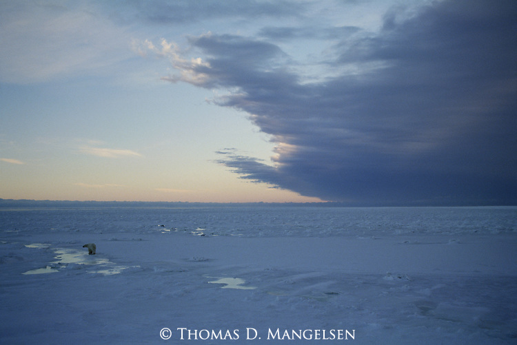 A Polar Bear looks out over the frozen tundra as a storm rolls in.
