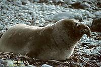 MA35-003z  Elephant Seal - juvenile - Sur Coast resting on beach - Mirounga angustirostris - © Allen Bell/Dwight Kuhn Photography