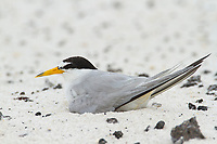 Adult Least Tern (Sternula antillarum) incubating on a nest. this birds undertial coverts are lighlty oiled from the Gulf oil spill. Gulf Islands National Seashore, Florida. June 2010.