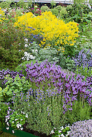 Herb garden including mixture of Spanish lavender Lavandula stoechas, English lavender Lavandula angustifolia, Isatis tinctoria Dyer's Woad, Thymes Thymus, Viola, Alchemilla, Angelica, Tanasetum, culinary herbs as well as medicinal and for uses such as dyes