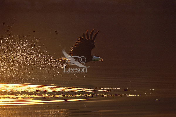 Bald eagle (Haliaeetus leucocephalus) fishing at sunrise.  Pacific Northwest.