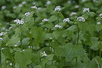 Gewöhnliche Knoblauchsrauke, Knoblauchrauke, Knoblauch-Rauke, Knoblauchs-Rauke, Lauchkraut, Alliaria petiolata, Hedge Garlic, Jack-by-the-Hedge, Alliaire