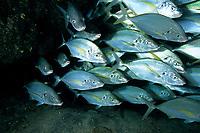 school of guelly jack, Pseudocaranx dentex, El Hierro, Canary Islands, Spain, Atlantic Ocean, Spanish Territory of Northern Africa