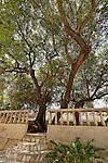 T-084 Jujube tree in Mrar