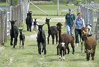 Barb, right, and Ed Wille herd their alpacas to graze in a field Sunday, July 2, 2006, in Valley City, Ohio. The Willes, who raises 23 alpacas of their own, say they have earned $200,000 since starting up in 1994 by selling alpacas, winning stud fees and housing 12 of the furry creatures for $3 a day.<br />