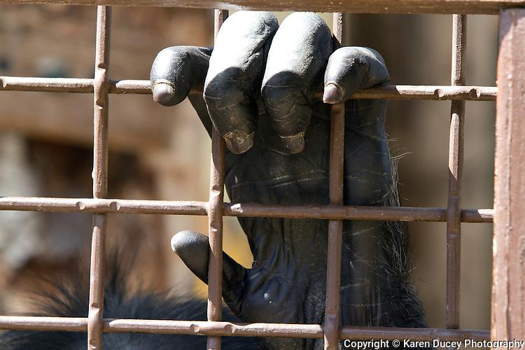A chimpanzee's hand at the Chimpanzee Sanctuary NW in Cle Elem, Washington.