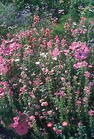Clarkia Rosy Morn, Salvia viridis Claryssa Pink, Lavatera trimestris, annuals in Graham Rice's garden
