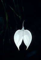 Masdevallia coccinea alba orchid species