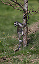 """16/05/16<br /> <br /> """"Don't go far mum. I don't think I can do this""""<br /> <br /> Three baby ring-tail lemurs began climbing lessons for the first time today. The four-week-old babies, born days apart from one another, were reluctant to leave their mothers' backs to start with but after encouragement from their doting parents they were soon scaling rocks and trees in their enclosure. One of the youngsters even swung from a branch one-handed, at Peak Wildlife Park in the Staffordshire Peak District. The lesson was brief and the adorable babies soon returned to their mums for snacks and cuddles in the sunshine.<br /> All Rights Reserved F Stop Press Ltd +44 (0)1335 418365"""