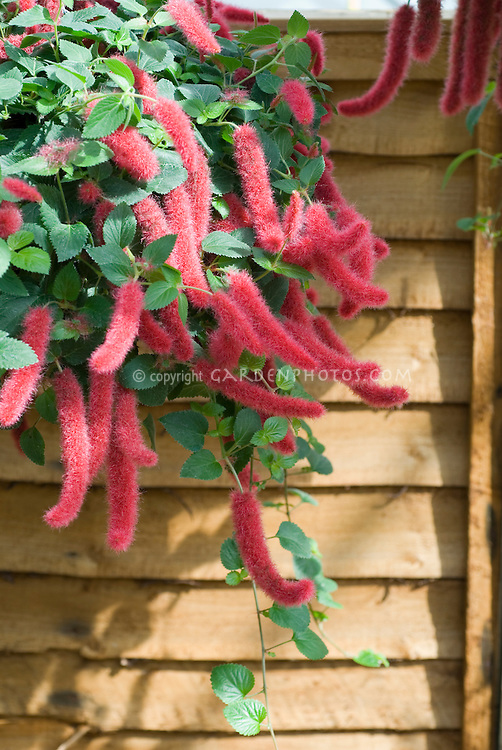 Acalypha 'Pendula Mini Red' chenille plant in pot