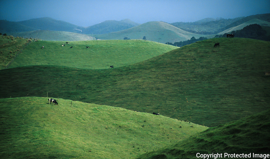 Cows in a curved landscape on the North island, New Zealand
