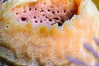 Close-up of an azure vase sponge (scientific name: Callyspongia plicifera), off Key Largo coast, Atlantic Ocean, Florida Keys, USA, United States.