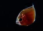 Plankton, pelagic marine life, Gulfstream Current, Atlantic Ocean, SE Florida,USA.