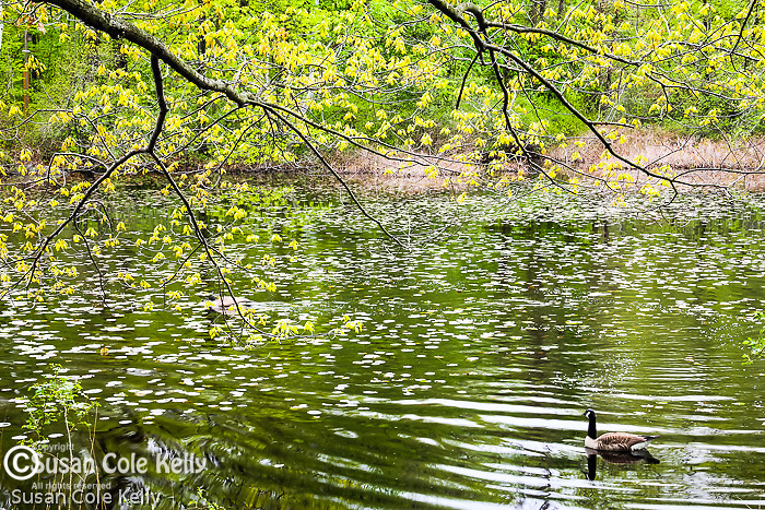 Bellevue Pond in the Middlesex Fells Reservation, Medford, Massachusetts, USA
