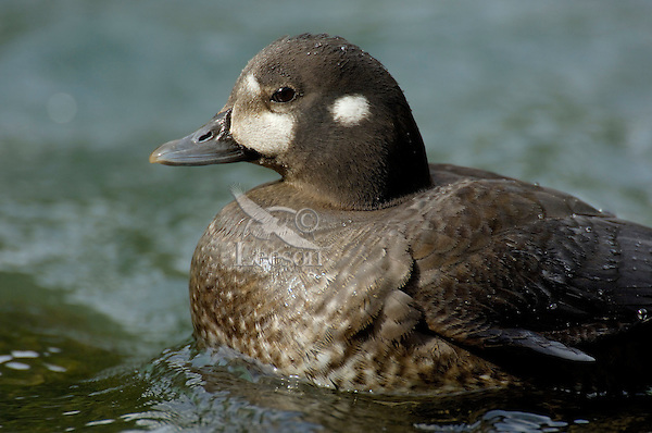 Female Harlequin Duck (Histrionicus histrionicus).  Pacific Northwest.  Spring.