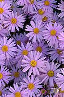 Utah daisy, Burr Trail<br /> Capitol Reef National Park<br /> Bryce Canyon National Park<br /> Colorado Plateau, Utah