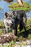 grey wolf charcoal color phase standing over deer carcass, vertical