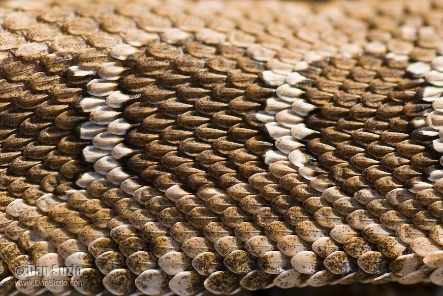 Dorsal scales of Northern Pacific rattlesnake, Crotalus viridis oreganus.  Mount Diablo State Park, California